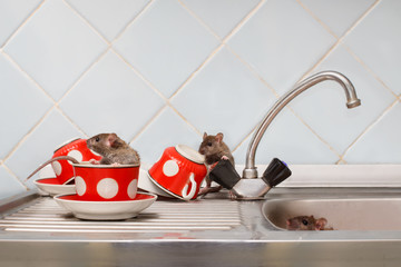 Three young rats (Rattus norvegicus) at kitchen. One rat sits in red cup. Fight with rodents in the apartment.
