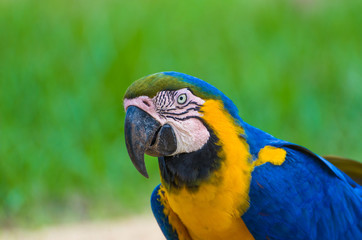 Beautiful Blue-and-yellow Macaw (Ara ararauna) in the Brazilian wetland.