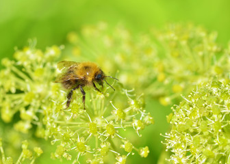 Bee collects pollen from a flower.
