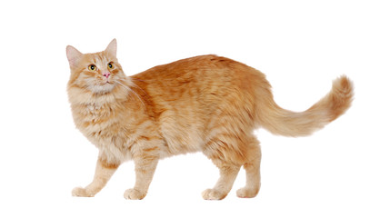 Side view picture of a long haired red cat in a white studio looking up
