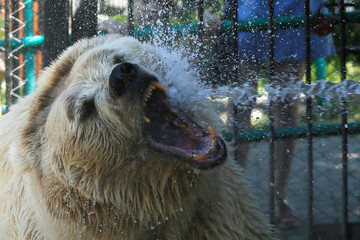 Pamir the bear is sprayed with water to cool down on a hot summer day at the Royev Ruchey zoo in Krasnoyarsk