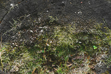 Background surface of very old grey wood stub with moss and grass growing from it