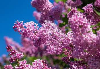 Blooming lilac. Lush clusters of purple lilac bushes on the background of a clear blue sky.