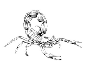 Scorpion is drawn with ink on white background tattoo