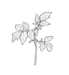 Vector illustration, isolated young tomato sprout with leaves in black and white colors, outline hand painted drawing