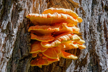 Tree fungus sulphur polypore, sulphur shelf or chicken mushroom (Laetiporus sulphureus).