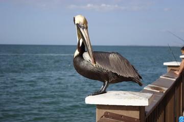 Pelican in Clearwater Beach