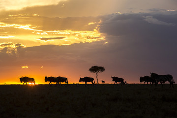 Wildebeests silhouetted at sunset during great migration, Masai Mara National Reserve, Kenya