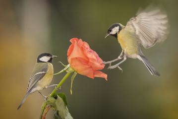 Two great tit (Parus major) songbirds perching on rose