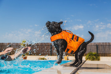 black staffordshire bull terrier dog in an orange lifejacket playing safely by the side of a swimming pool. He is being splashed and is trying to catch the water in his mouth