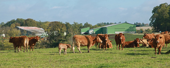 Photo sur Toile Vache Vaches limousines au champ