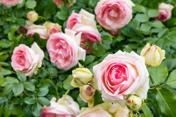 rose bush with pink and white tea roses in bloom
