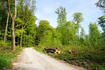 Buchenwald mit hohen alten Bäumen im Frühling