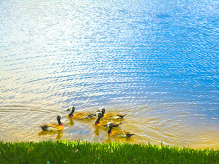 Group of ducks swimming on lake image picture