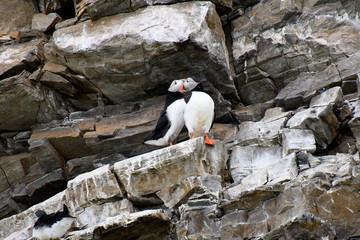 Puffin bird in Arctic