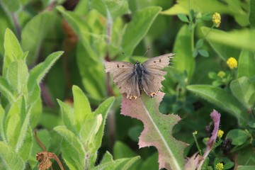 Camo Butterfly