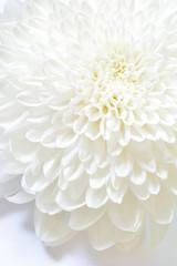 菊の花 白バック
