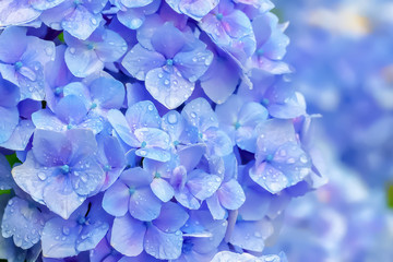 Printed kitchen splashbacks Hydrangea 雨上がりの紫陽花 Hydrangea