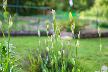 Yellow Iris Bud - bright yellow iris buds in garden at daytime in shalow depth of field