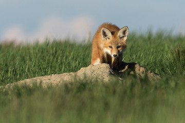 Cute and adorable fox pup staring.