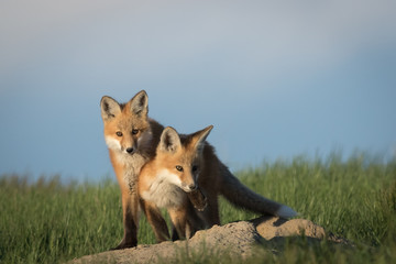 Very cute fox pups in an adorable and funny pose.
