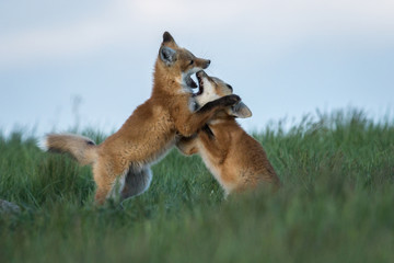 Two adorable fox kits play fighting.
