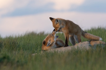Very tender moment between two fox pups.