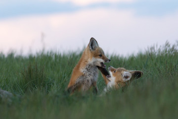 Special moments between two cute fox pups while playing outside of their den.