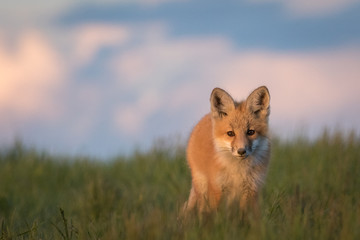Beautiful young fox on a grassy ridge.