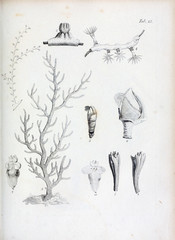 Illustration of coral