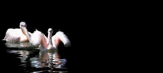 Fototapete - Pelican (Pelecanus)