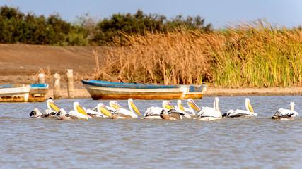 Pelican in the Djoudj National Bird Sanctuary, Senegal. UNESCO World Heritage