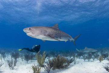 Tiger shark from the side in clear blue water with scuba diver in the background