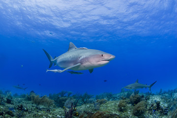 Tiger shark with other sharks in clear blue water with sun in the background