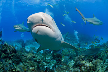 Very close tiger shark head shot from below in clear blue water with caribbean reef sharks in the background