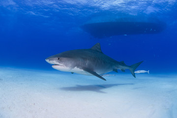 Tiger shark in clear blue water with shadow on the sand and boat in the background