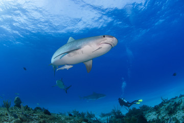 Tiger shark sideways from below in clear blue water with a caribbean reef shark, another tiger shark and a scuba diver in the background