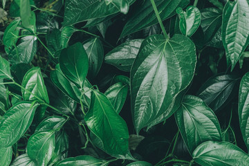 Dark and greenery leaves and background from tropical leaves.