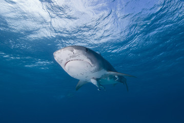 Tiger shark from below close to the surface in clear blue water with sun in the background