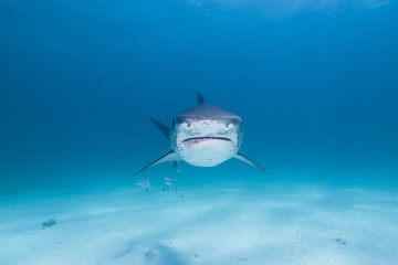 Tiger shark head shot from the front in clear blue water approaching you