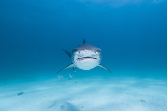 Tiger shark looking angry and showing sharp teeth rows in blue water