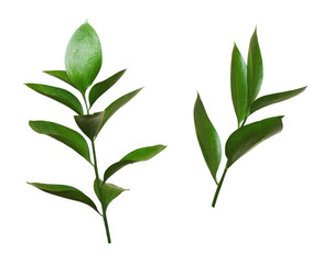 Set of two twigs of ruscus