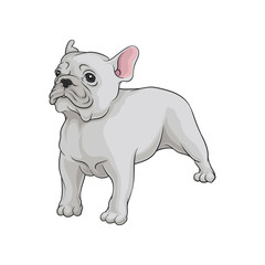 Portrait of boston terrier dog in pose. Cute puppy with white short coat. Home pet. Domestic animal. Cartoon vector icon