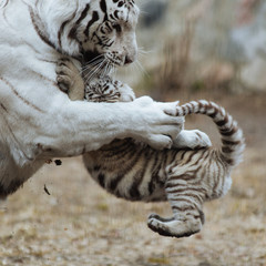 Funny bengal tiger cub playing with his mother