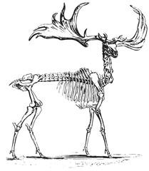 Deer skeleton #vector #isolated Hirsch Skelett