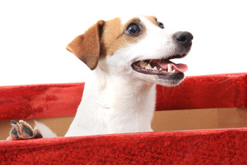 jack russell terrier in paper box