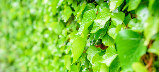 green plant background, raindrops on leaves