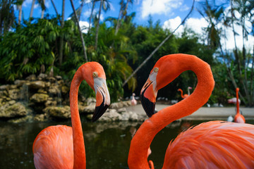 Two pink flamingos walking in the water