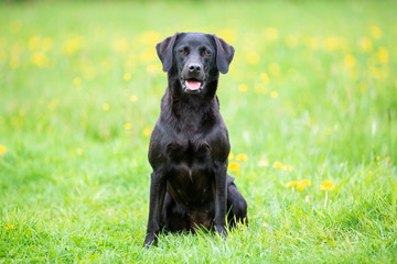 Black labrador retriever sitting on the meadow