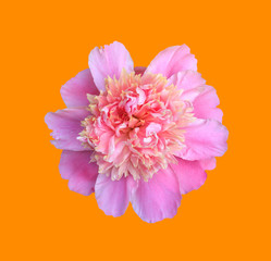 blooming flower pink peony close up, top view isolated on orange background